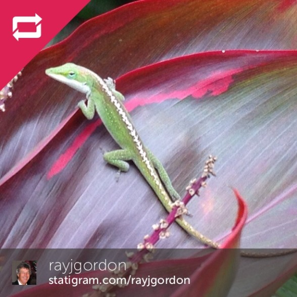 Anole (similar to a chameleon) on a ti leaf photo by Ray Gordon to demonstrate the repost feature on Statigram and Webstagram.